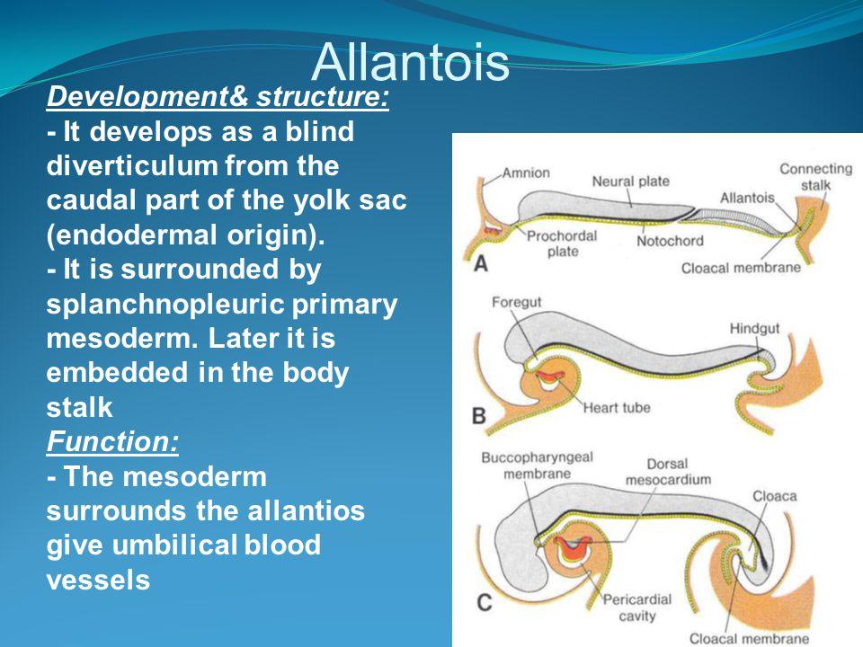 Allantois Development& structure: