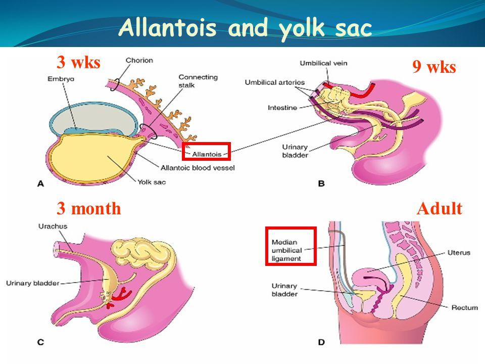 Allantois and yolk sac 3 wks 9 wks 3 month Adult