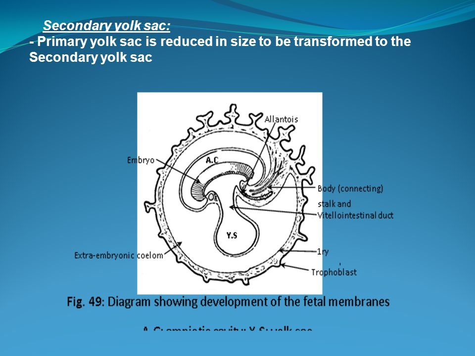 Secondary yolk sac: - Primary yolk sac is reduced in size to be transformed to the Secondary yolk sac.