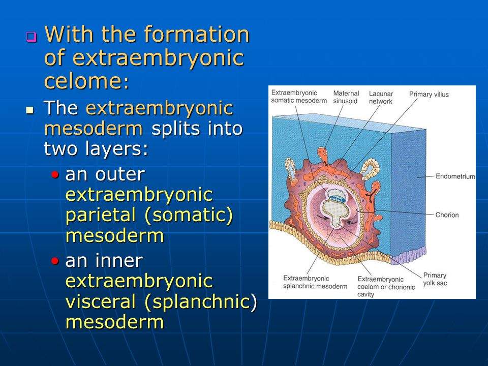With the formation of extraembryonic celome:
