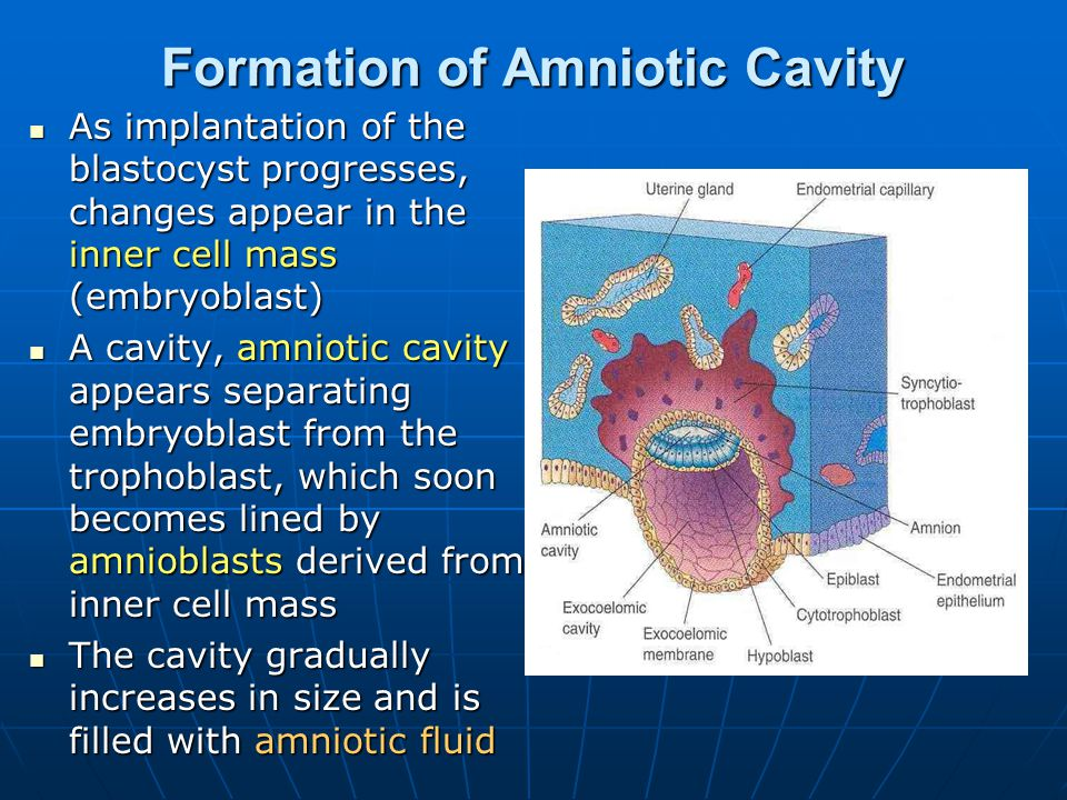 Formation of Amniotic Cavity