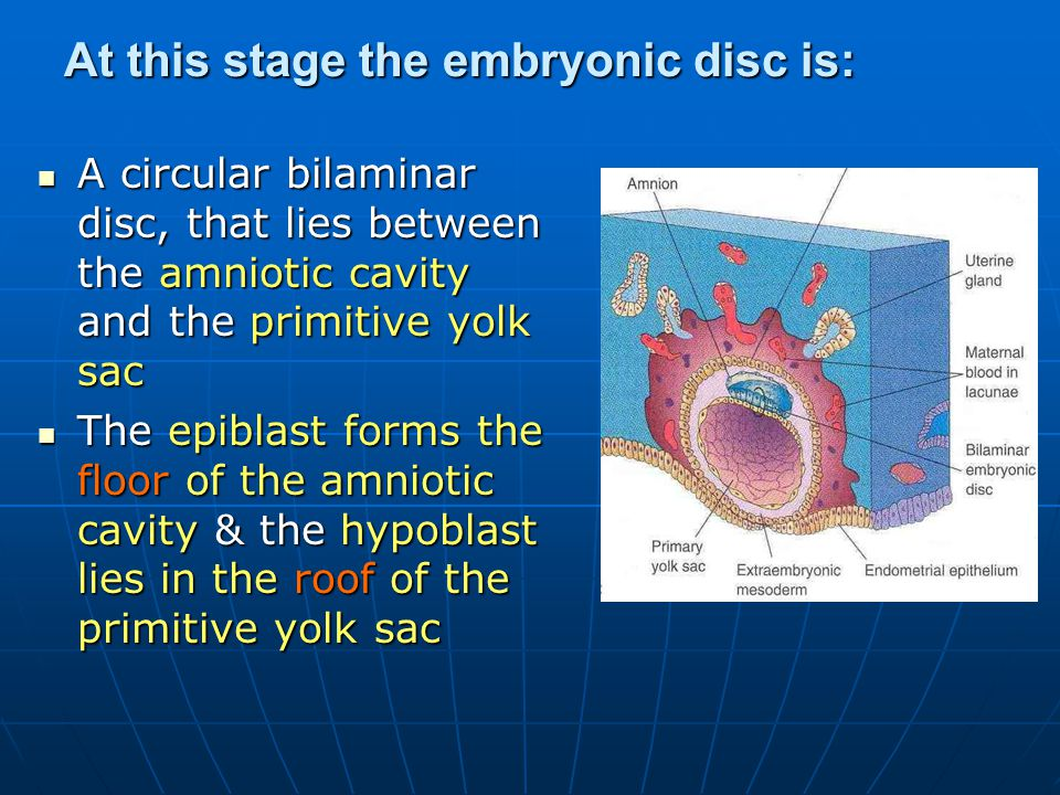 At this stage the embryonic disc is: