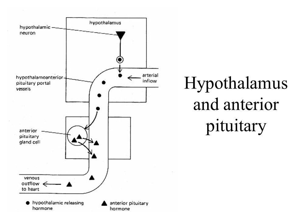 Hypothalamus and anterior pituitary