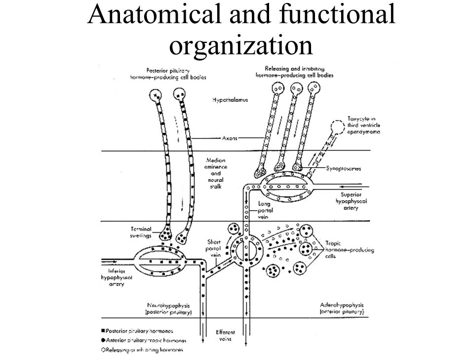 Anatomical and functional organization