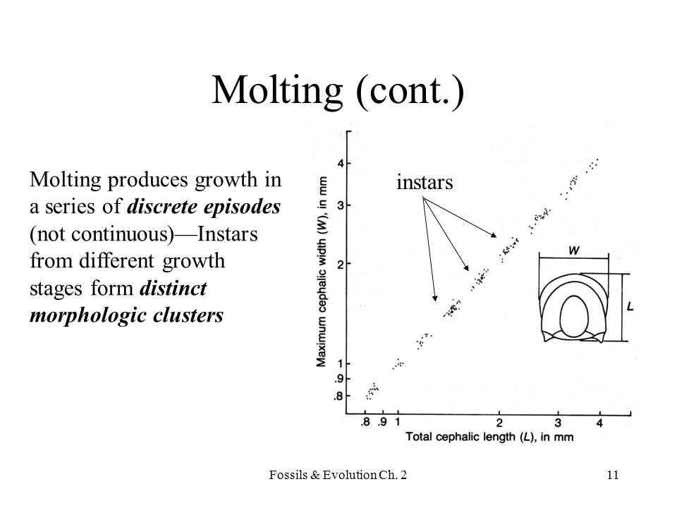 Molting (cont.) Molting produces growth in instars