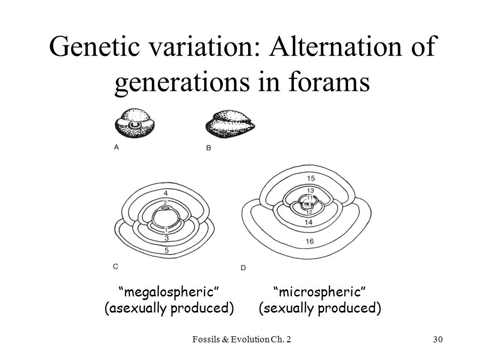 Genetic variation: Alternation of generations in forams
