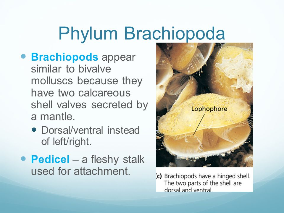 Phylum Brachiopoda Brachiopods appear similar to bivalve molluscs because they have two calcareous shell valves secreted by a mantle.