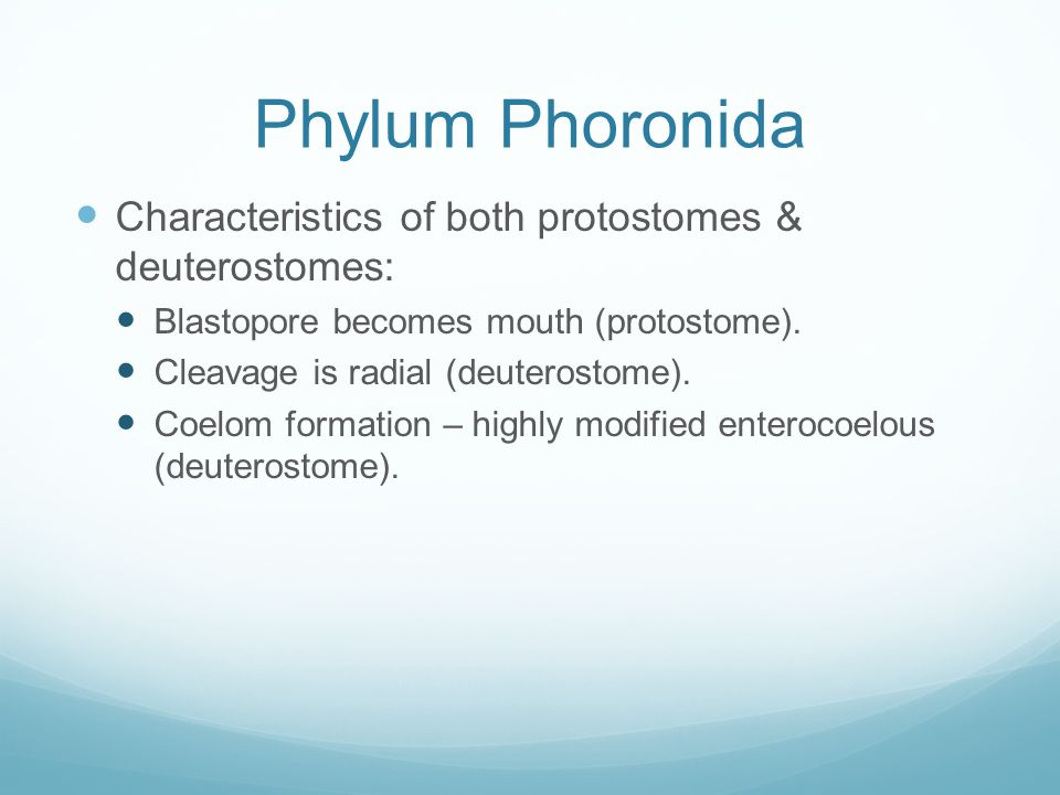 Phylum Phoronida Characteristics of both protostomes & deuterostomes: