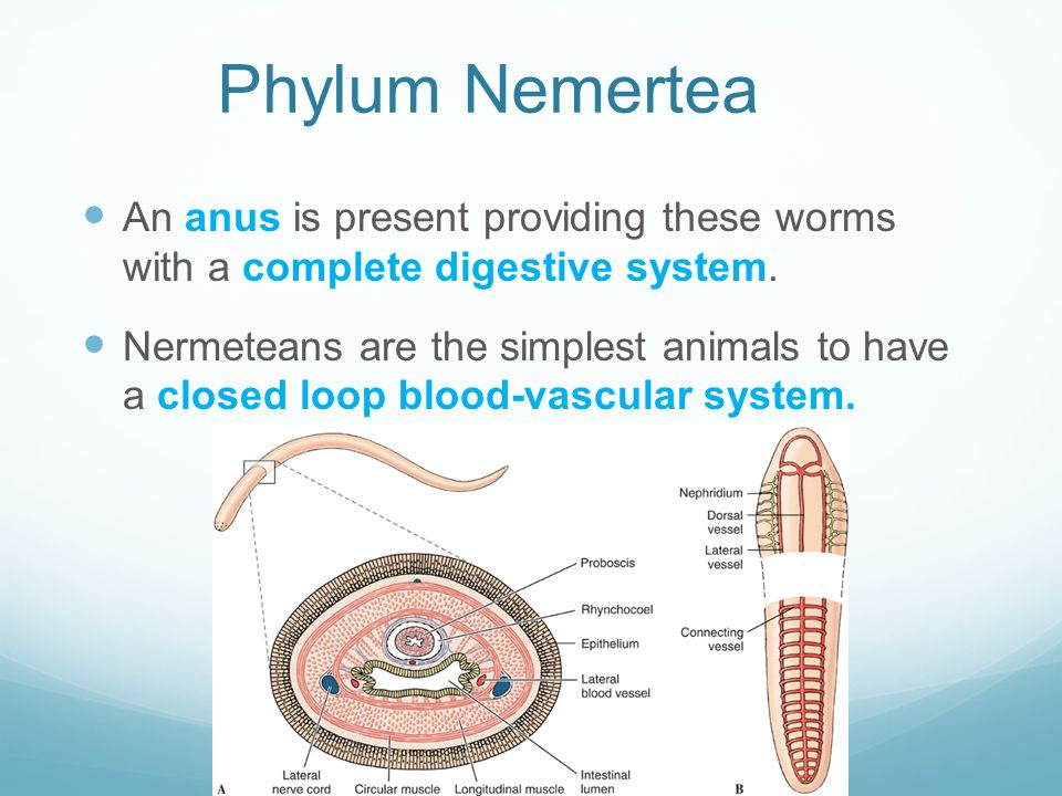 Phylum Nemertea An anus is present providing these worms with a complete digestive system.