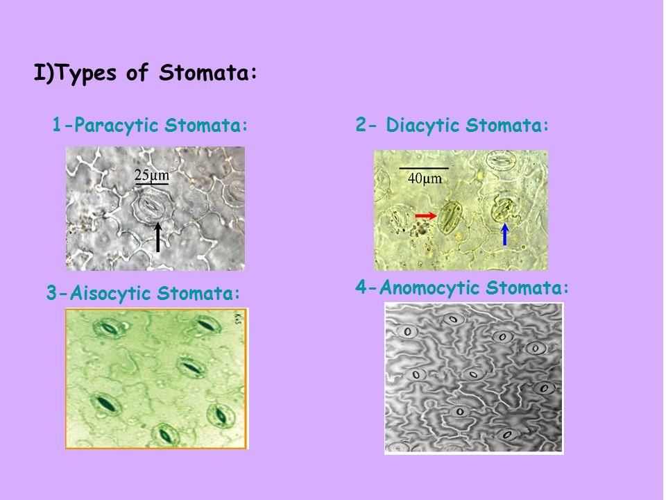 I)Types of Stomata: 1-Paracytic Stomata: 2- Diacytic Stomata: