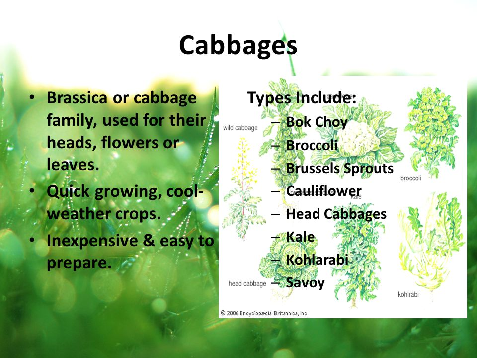 Cabbages Brassica or cabbage family, used for their heads, flowers or leaves. Quick growing, cool-weather crops.
