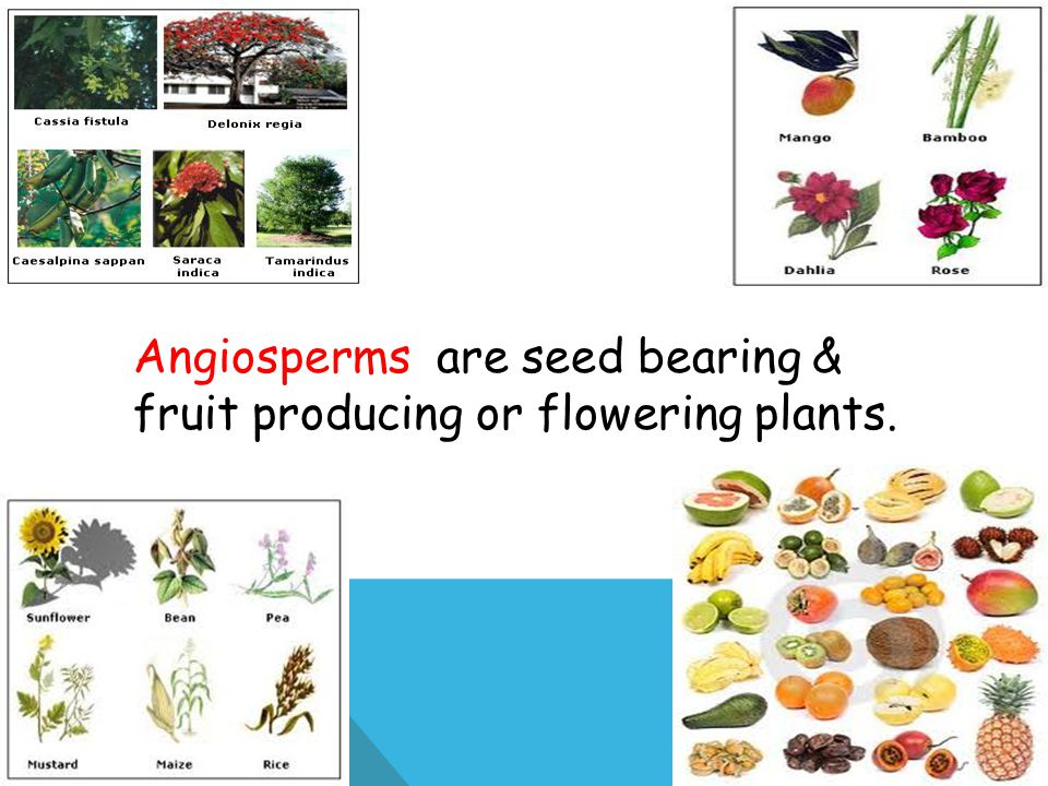 Angiosperms are seed bearing & fruit producing or flowering plants.
