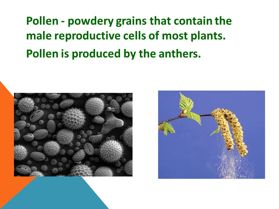 Pollen - powdery grains that contain the male reproductive cells of most plants.