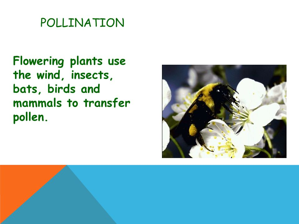Pollination Flowering plants use the wind, insects, bats, birds and mammals to transfer pollen.