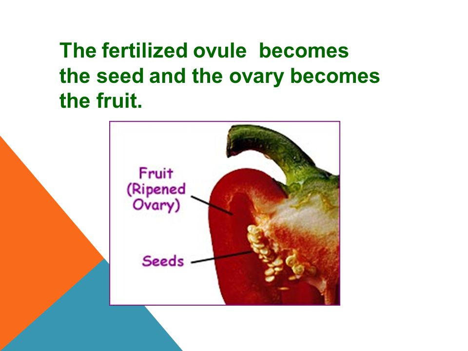 The fertilized ovule becomes the seed and the ovary becomes the fruit.