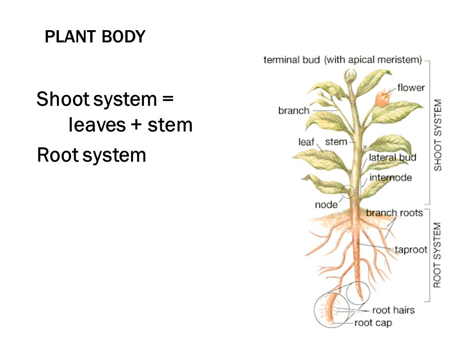 Shoot system = leaves + stem Root system