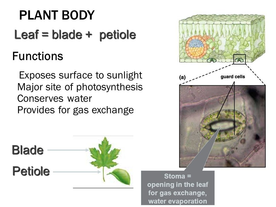Stoma = opening in the leaf for gas exchange, water evaporation