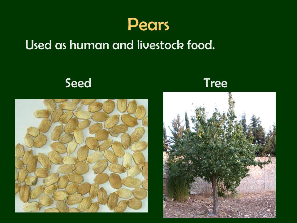 Pears Used as human and livestock food. Seed Tree
