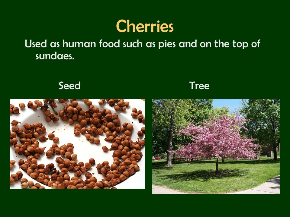 Cherries Used as human food such as pies and on the top of sundaes.