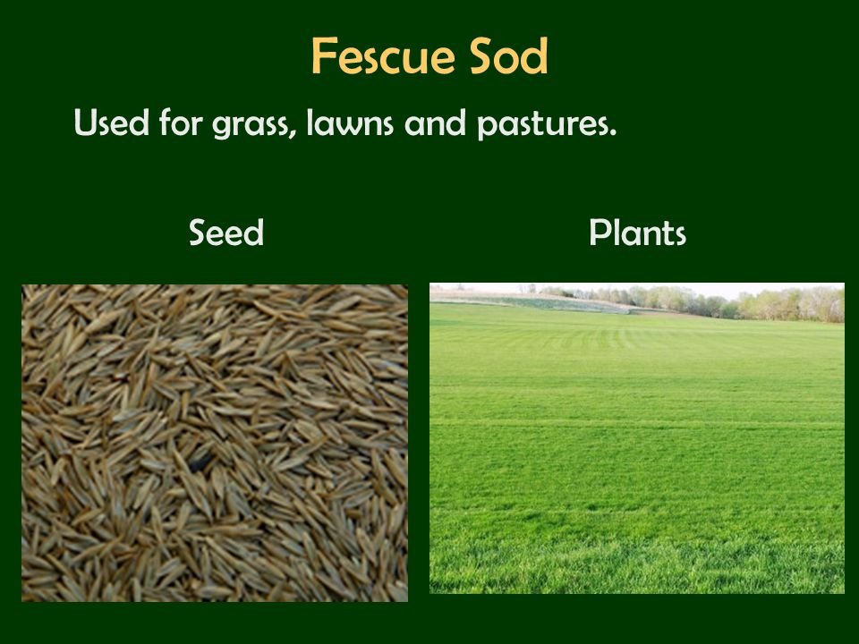 Fescue Sod Used for grass, lawns and pastures. Seed Plants