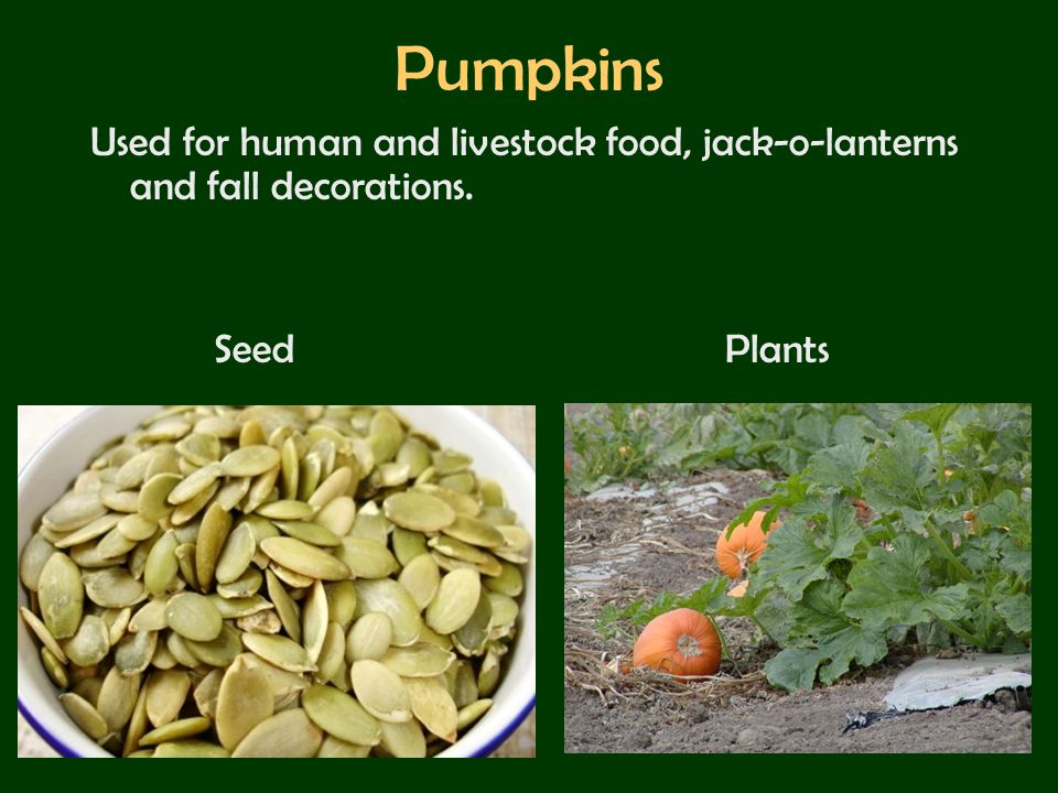 Pumpkins Used for human and livestock food, jack-o-lanterns and fall decorations. Seed Plants