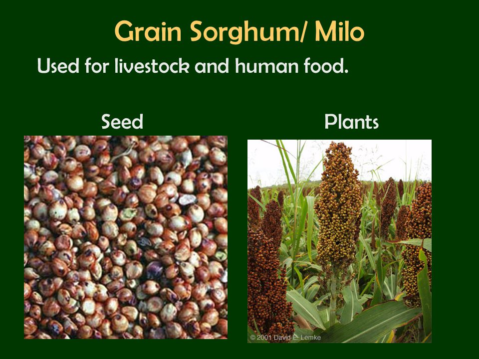 Grain Sorghum/ Milo Used for livestock and human food. Seed Plants
