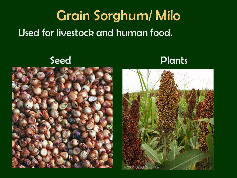Grain Sorghum/ Milo Used for livestock and human food. Seed Plants