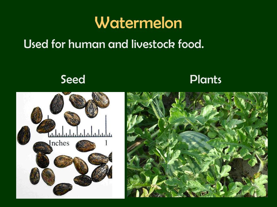 Watermelon Used for human and livestock food. Seed Plants