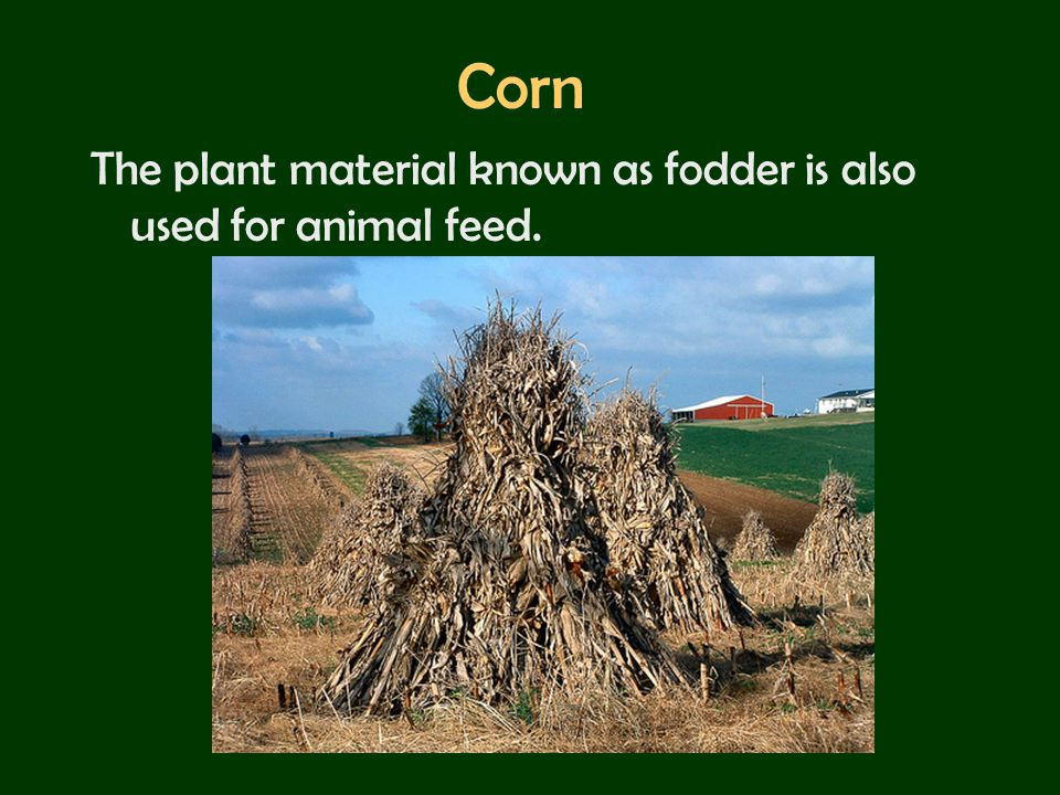Corn The plant material known as fodder is also used for animal feed.