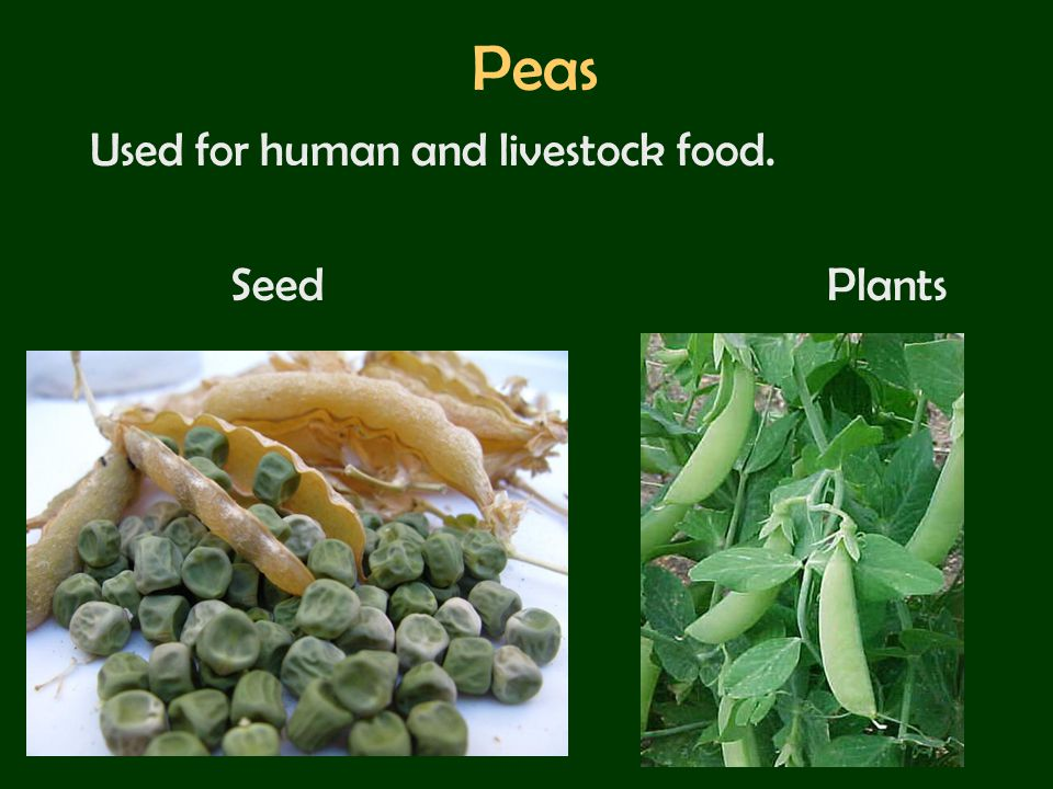 Peas Used for human and livestock food. Seed Plants