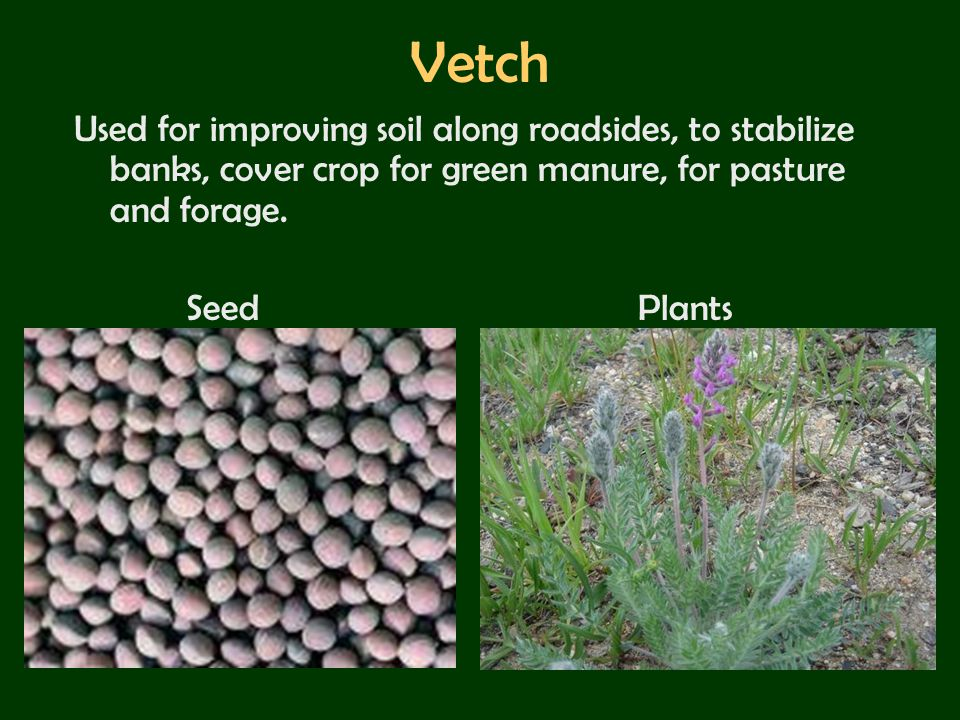 Vetch Used for improving soil along roadsides, to stabilize banks, cover crop for green manure, for pasture and forage.