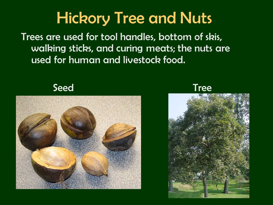 Hickory Tree and Nuts