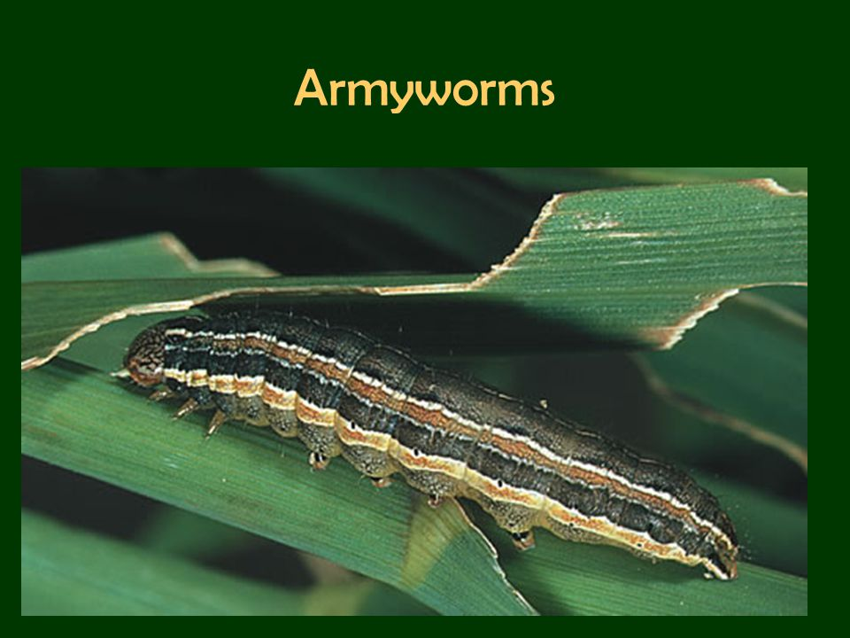 Armyworms