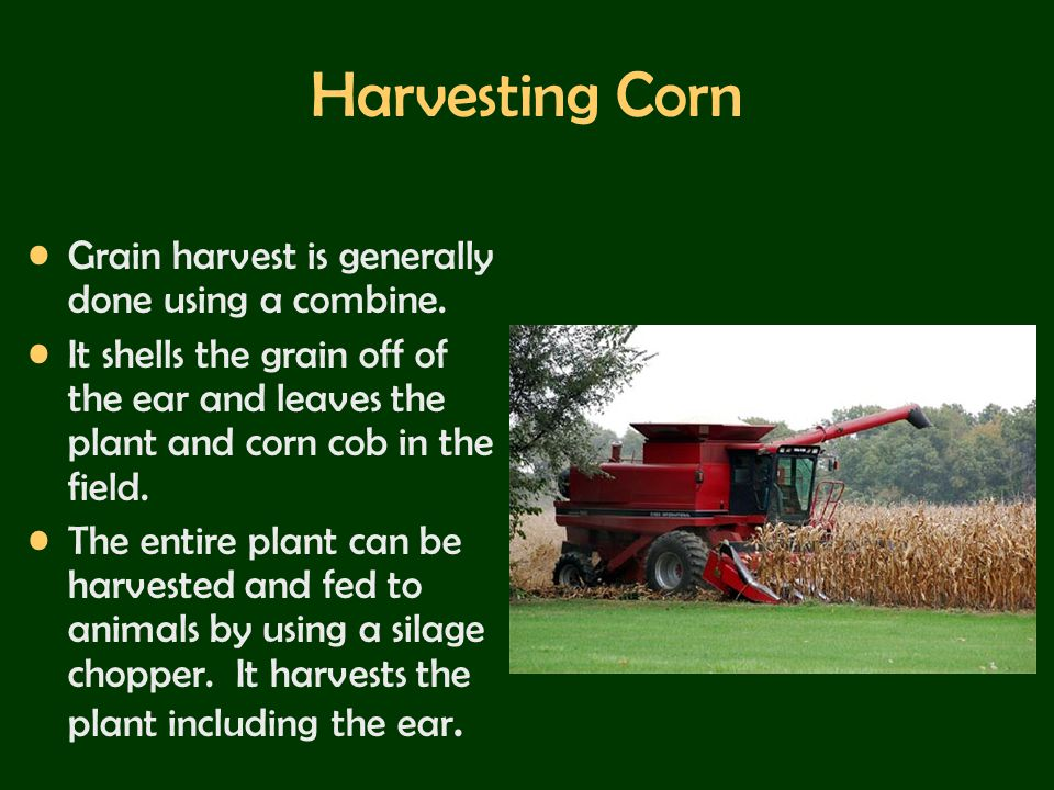 Harvesting Corn Grain harvest is generally done using a combine.