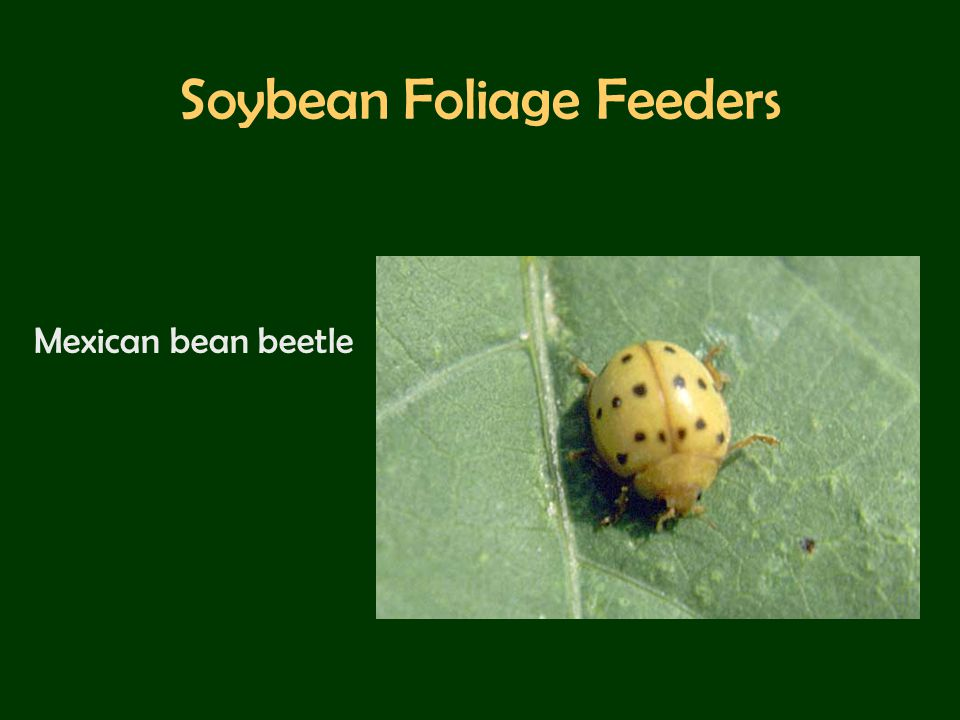 Soybean Foliage Feeders