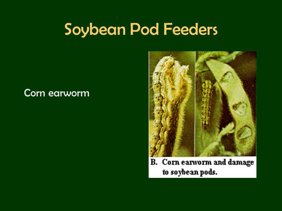 Soybean Pod Feeders Corn earworm