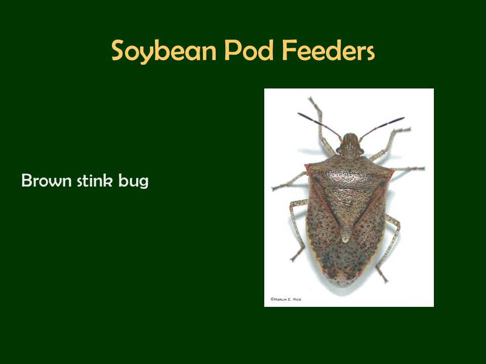 Soybean Pod Feeders Brown stink bug