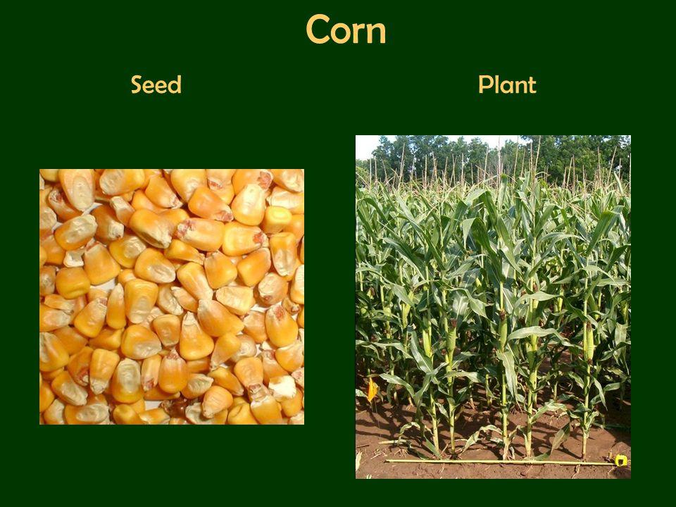 Corn Seed Plant