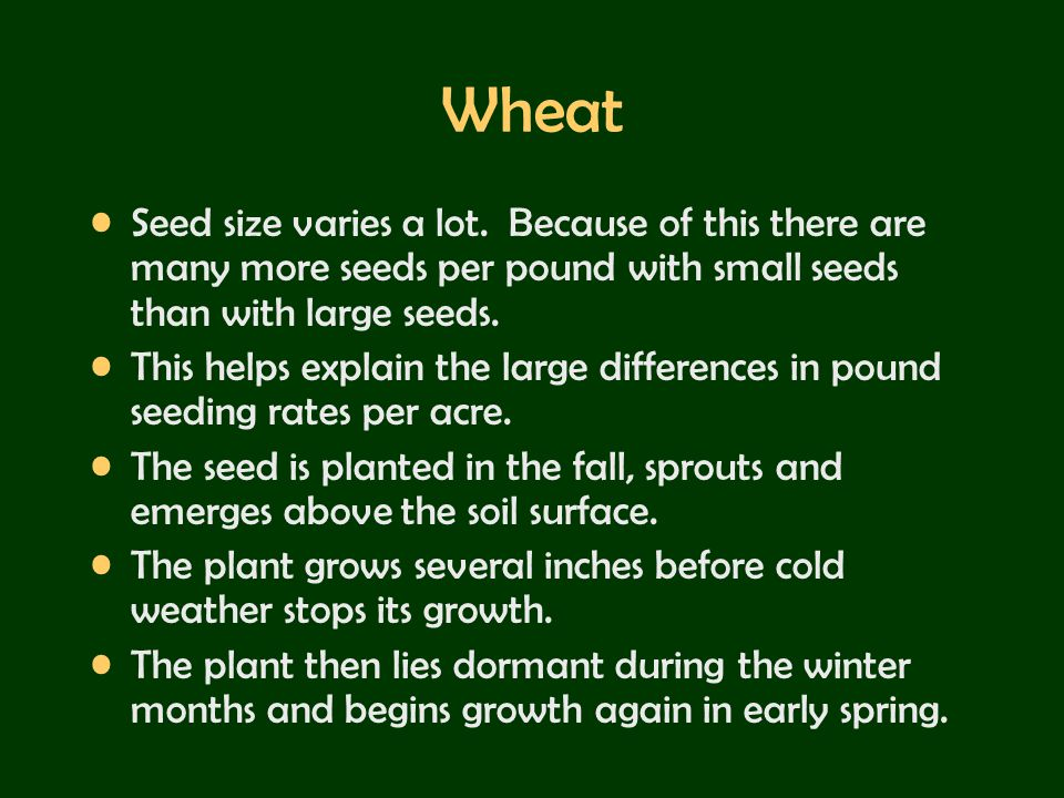 Wheat Seed size varies a lot. Because of this there are many more seeds per pound with small seeds than with large seeds.