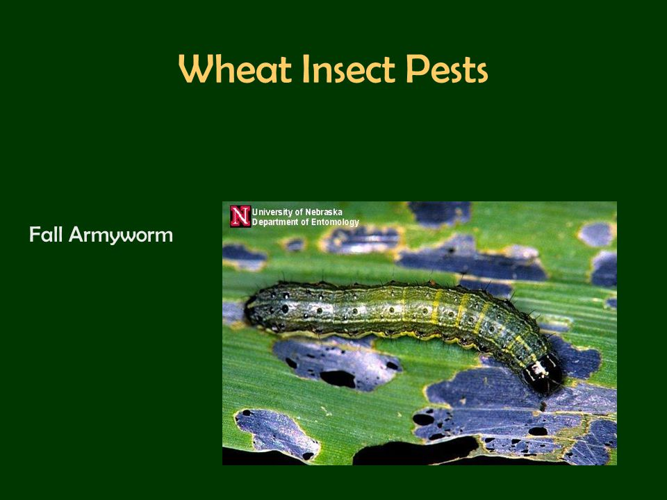 Wheat Insect Pests Fall Armyworm