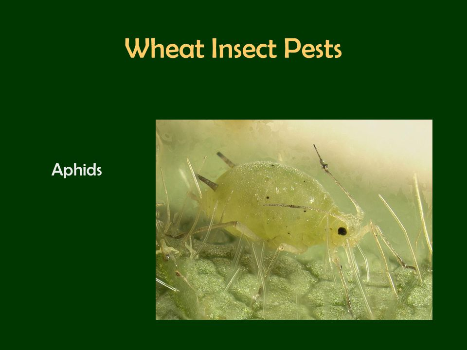 Wheat Insect Pests Aphids