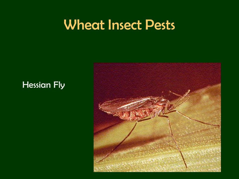 Wheat Insect Pests Hessian Fly