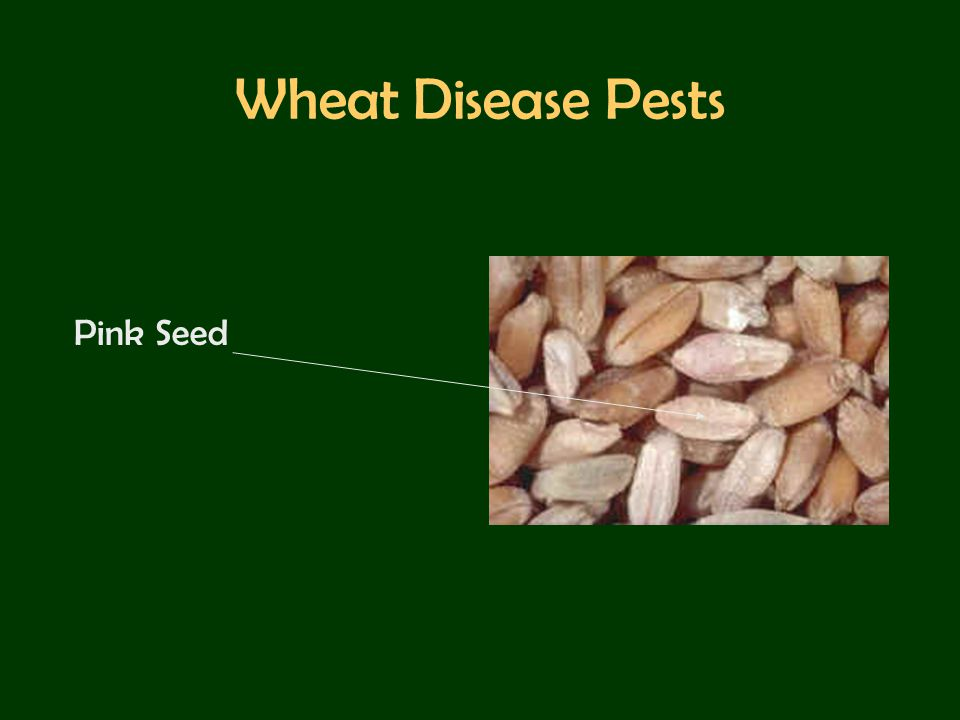 Wheat Disease Pests Pink Seed