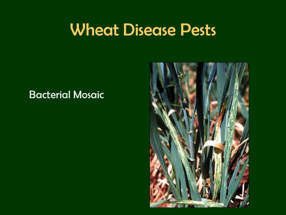 Wheat Disease Pests Bacterial Mosaic