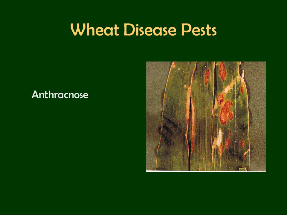 Wheat Disease Pests Anthracnose
