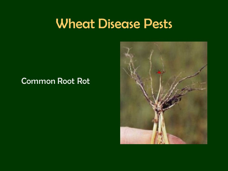 Wheat Disease Pests Common Root Rot