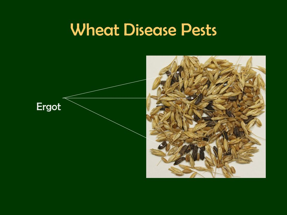 Wheat Disease Pests Ergot