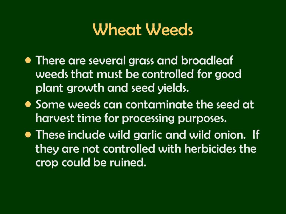 Wheat Weeds There are several grass and broadleaf weeds that must be controlled for good plant growth and seed yields.