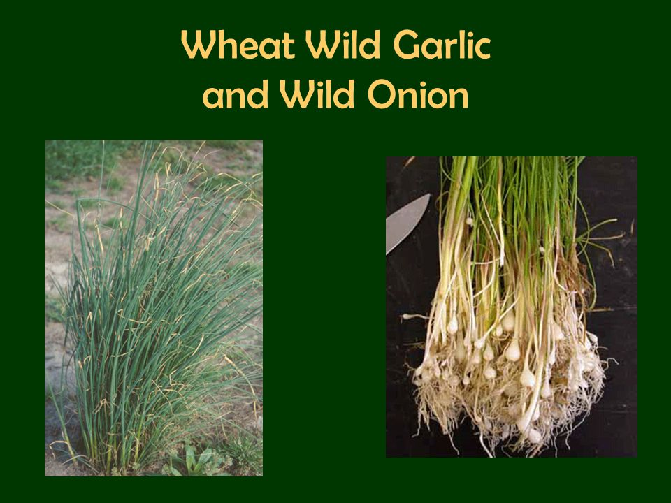 Wheat Wild Garlic and Wild Onion