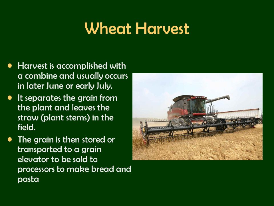 Wheat Harvest Harvest is accomplished with a combine and usually occurs in later June or early July.